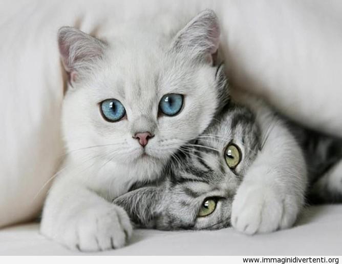 Gatto con occhi azzurri immaginidivertenti.org