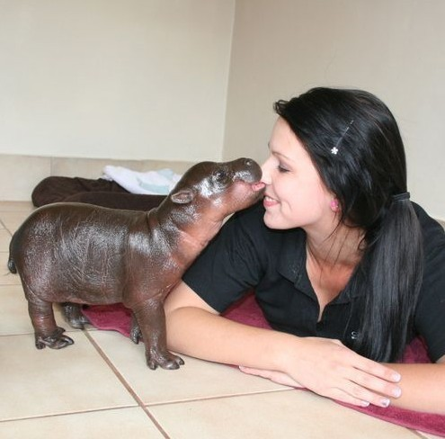 Un piccolo ippopotamo che sta divertendo