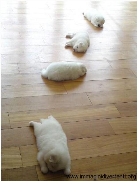 cuccioli bianci