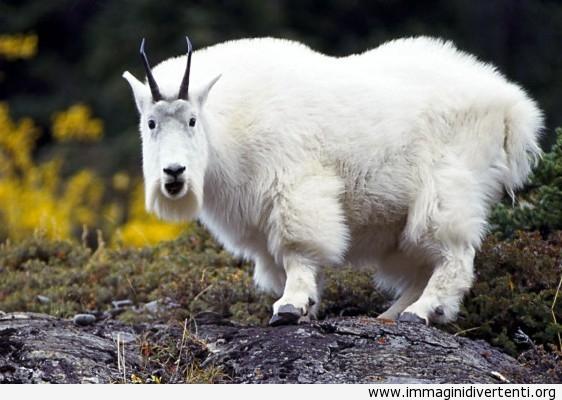 la capra bianca