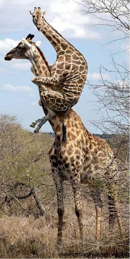 animale giraffa spaventata