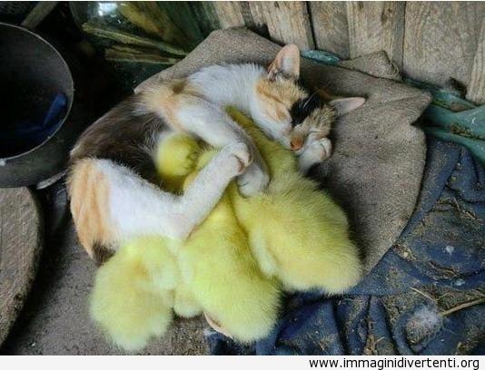 Un gatto che dorme con le anatre immaginidivertenti.org