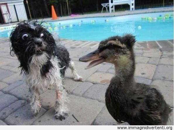 Chi l'ha invitato quest'anatra a questa festa in piscina? immaginidivertenti.org