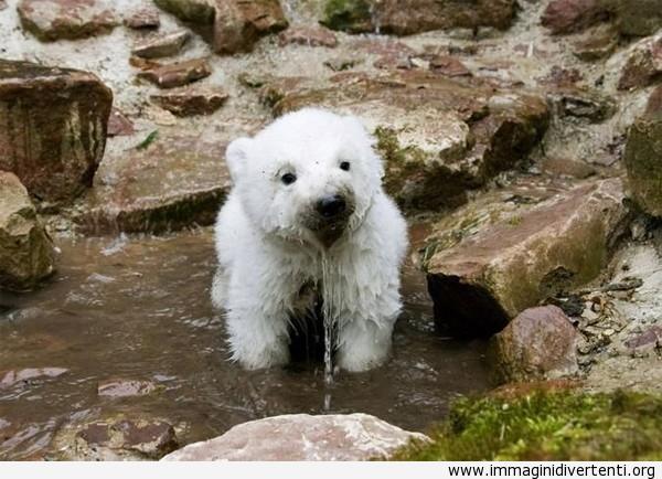 L'orso polare ha un po' di sete immaginidivertenti.org
