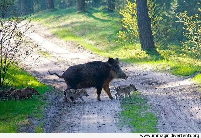 Cinghiale e i suoi figli immaginidivertenti.org