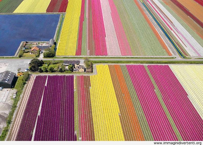 fiori olandesi immaginidivertenti.org
