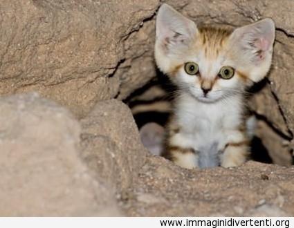 Gatto sabbia di arabo immaginidivertenti.org