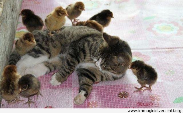 Le galline che giocano con il gatto immaginidivertenti.org