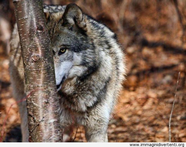 Mi nascondo dietro l'albero immaginidivertenti.org