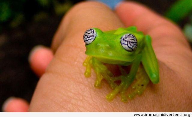 Piccola rana verde con divertenti occhi immaginidivertenti.org
