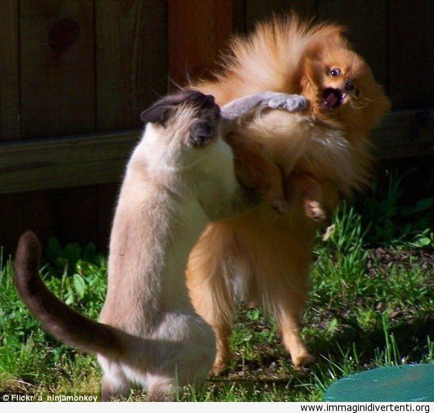 Quando un gatto litiga con un cane immaginidivertenti.org