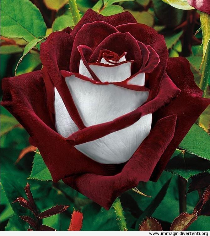 rosa osiria immaginidivertenti.org