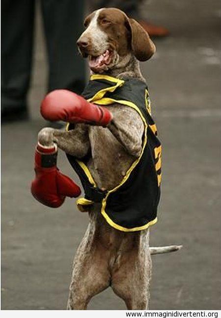 Sono pronto per la lotta, fra un po vi farò sapere chi è il cane più forte del mondo immaginidivertenti.org