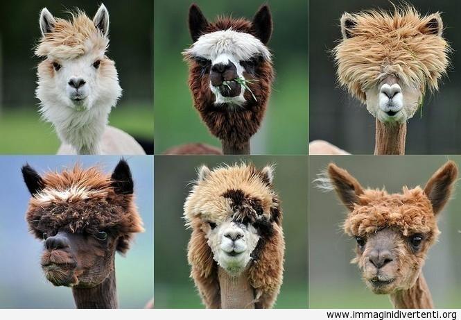 Tagli di capelli Lama immaginidivertenti.org
