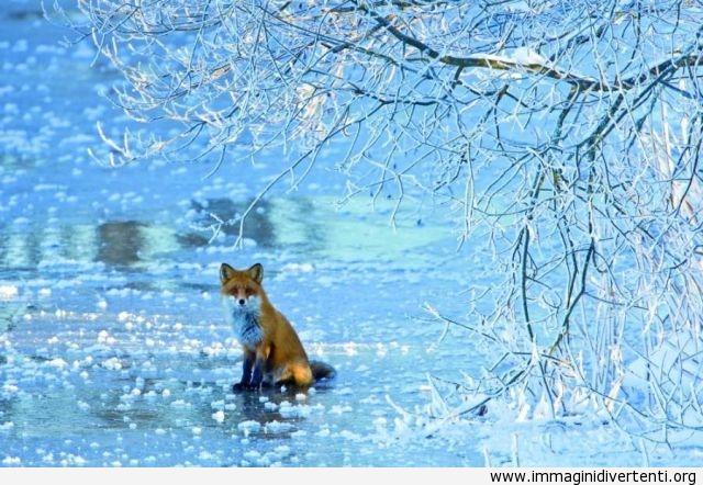 Una volpe d'inverno immaginidivertenti.org