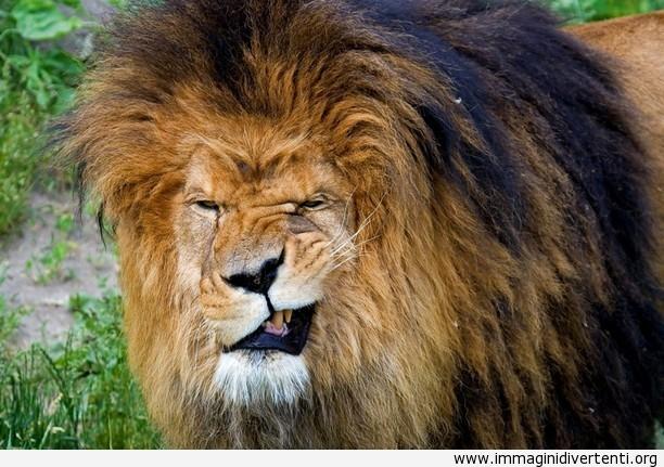 Espressione facciale del leone immaginidivertenti.org