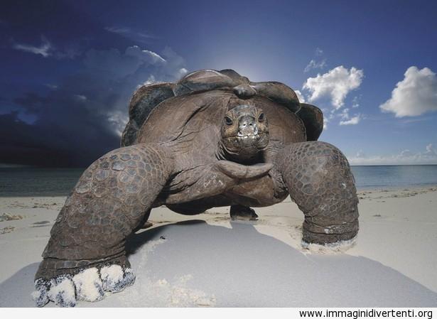 Il grande tartaruga è il re della spiaggia immaginidivertenti.org